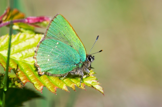 green hairstreak © Harry Mole 2017