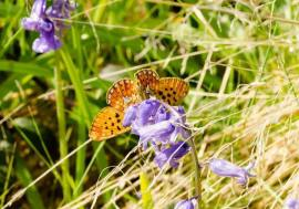pearl-bordered fritillary © Harry Mole 2017