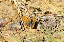 small copper © Harry Mole 2017