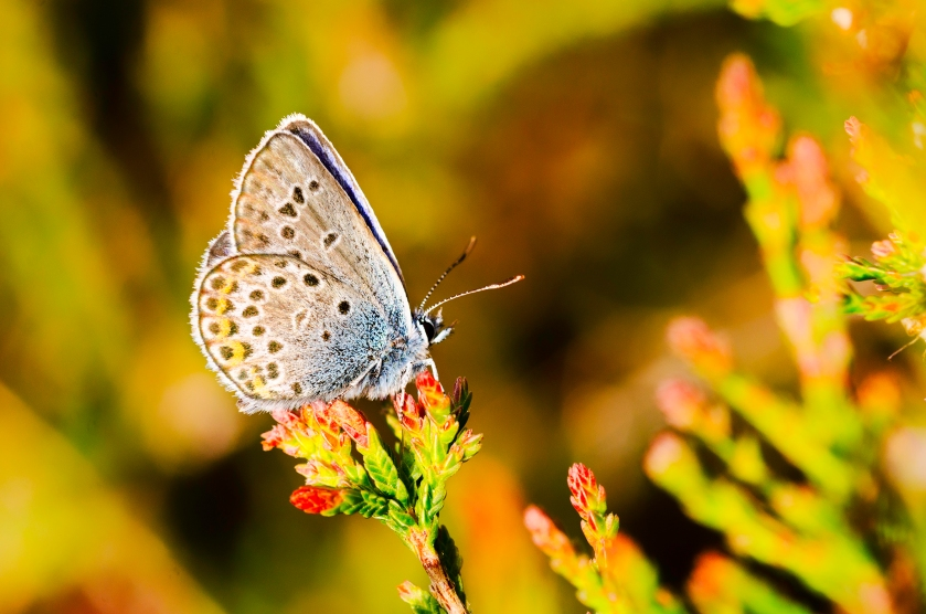 silverstudded blue