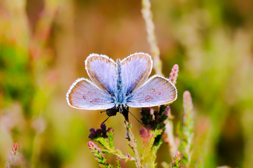 silverstudded blue2